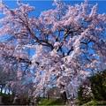 桜ネックレス (13)