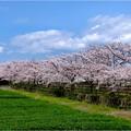 桜ネックレス (1)