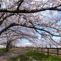 桜ネックレス (4)