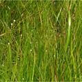 吉賀池湿地 (40)シラタマホシクサの赤ちゃん