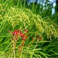 稲穂と彼岸花 (2)