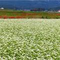 大安町蕎麦畑 (1)