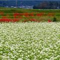 大安町蕎麦畑 (3)