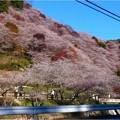 四季桜の里 (1)