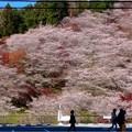 四季桜の里 (2)