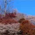 四季桜の里 (3)