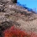 四季桜の里 (4)
