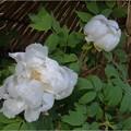 徳川園 (26)紀子の舞
