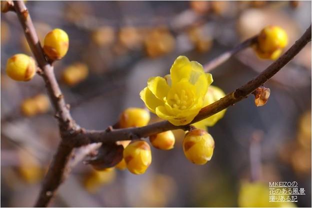 モミジの緑地・素心蝋梅 (3)