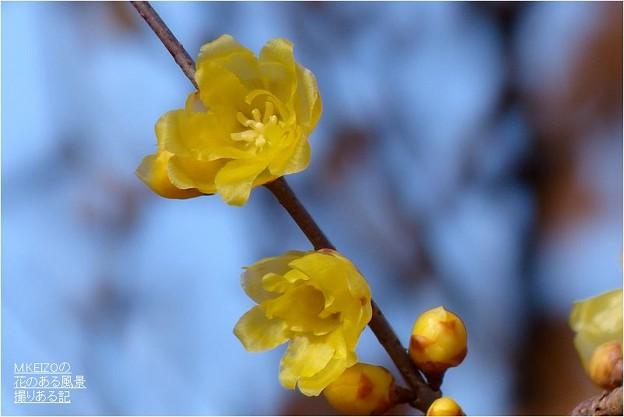 モミジの緑地・素心蝋梅 (8)