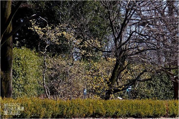 ロウバイ園 (1)