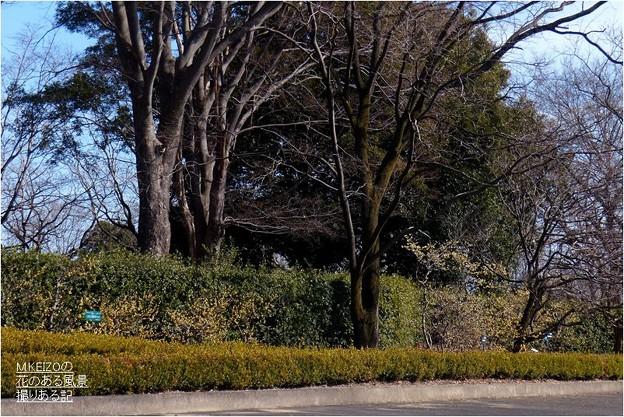 ロウバイ園 (2)