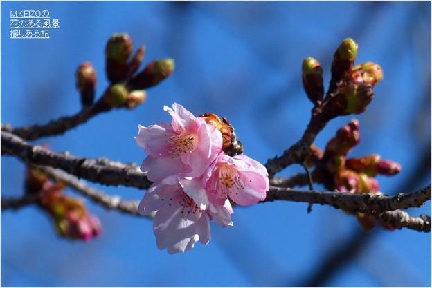 河津桜 (3)