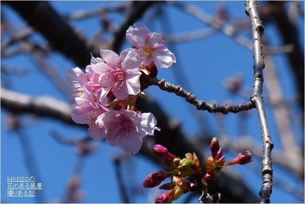 河津桜 (6)