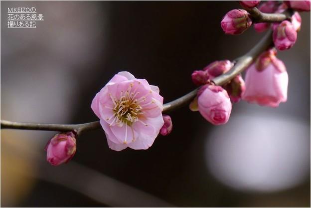 Photos: 筑紫紅 (1)