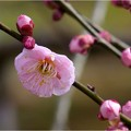 Photos: 筑紫紅 (2)
