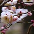 Photos: 大和牡丹 (1)