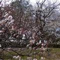 Photos: 大和牡丹 (2)