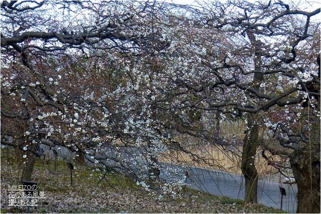 梅見本品種園風景 (3)