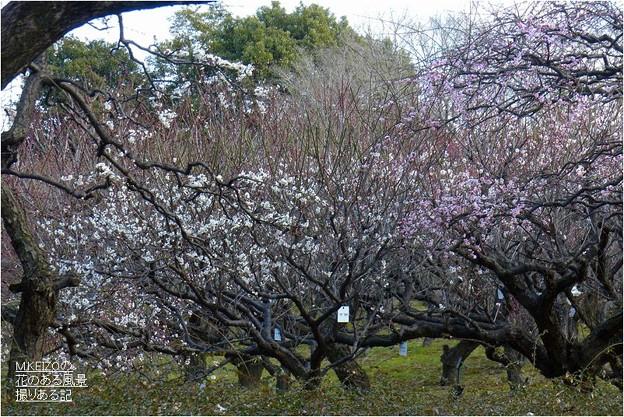 梅見本品種園風景 (4)