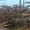 梅見本品種園風景 (7)