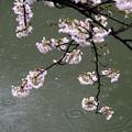 Photos: 雨桜
