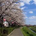 写真: 桜日和