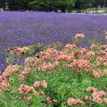 写真: 紫の絨毯