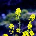 写真: 春黄色