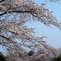 写真: 桜雲