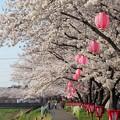 写真: 幸桜
