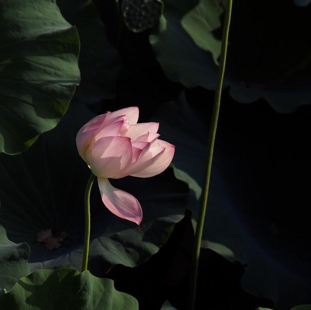 Photos: 夕蓮