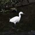 Photos: 白鷺