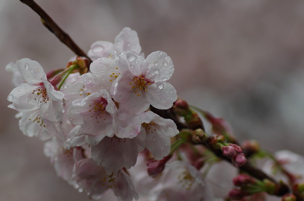 写真: 松戸の桜 (3)
