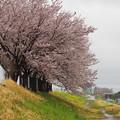 写真: 松戸の桜