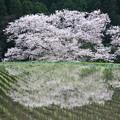 牛繋ぎの桜