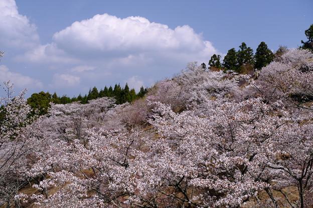 峰を覆う桜