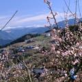 Photos: 賀名生梅林