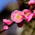 Photos: 紅梅