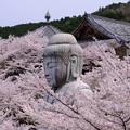 Photos: 桜をまとう大仏(桜大仏)