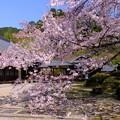 Photos: 桜の庭