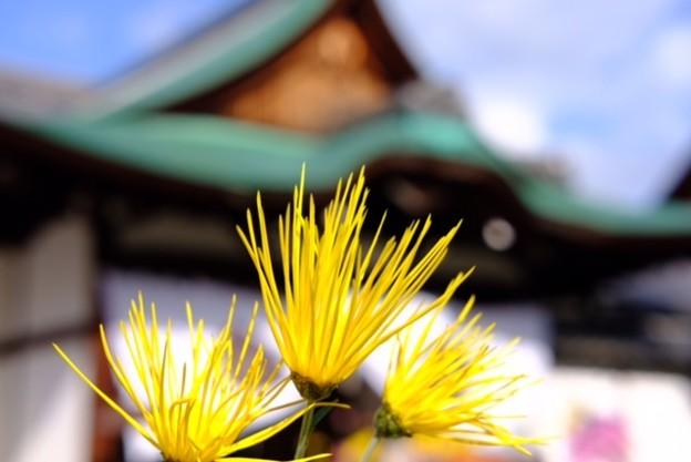 Photos: 嵯峨菊
