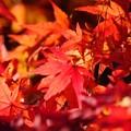 Photos: 燃える、紅葉