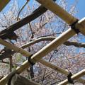 Photos: 格子の桜