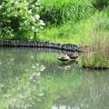 Photos: カモの池