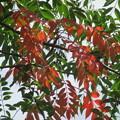 Photos: 櫨の葉