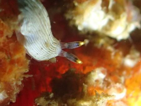 数ミリのオトメウミウシは、もう顕微鏡モードじゃないとこんなにくっきりは撮れないね