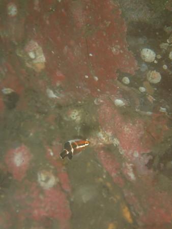 コブダイ幼魚が出ると夏った感じがしますね