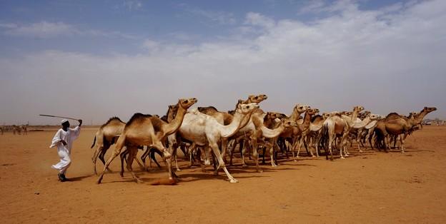 82スーダン-3Unruly flock - 手に負えない駱駝の群れ