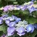 散歩道で出会った花「「アジサイ」